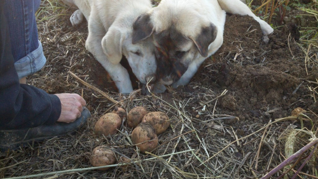 Mia and Rana digging potatoes