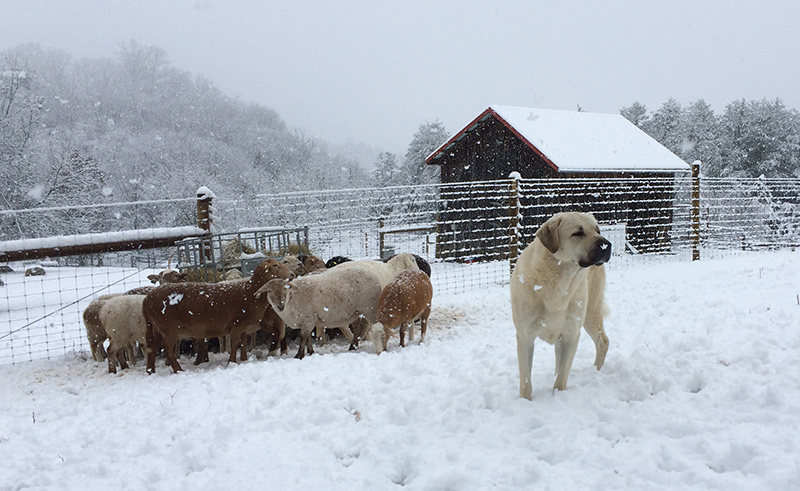 rondo-in-the-snow-with-lambs